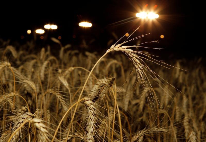 أسعار القمح الروسي متباينة بفعل مخاوف الجودة والمنافسة على إمدادت مصر