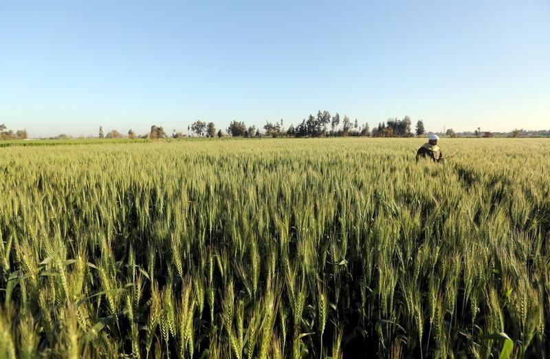 متحدث: احتياطي مصر من القمح يكفي حتى الأسبوع الثاني من فبراير