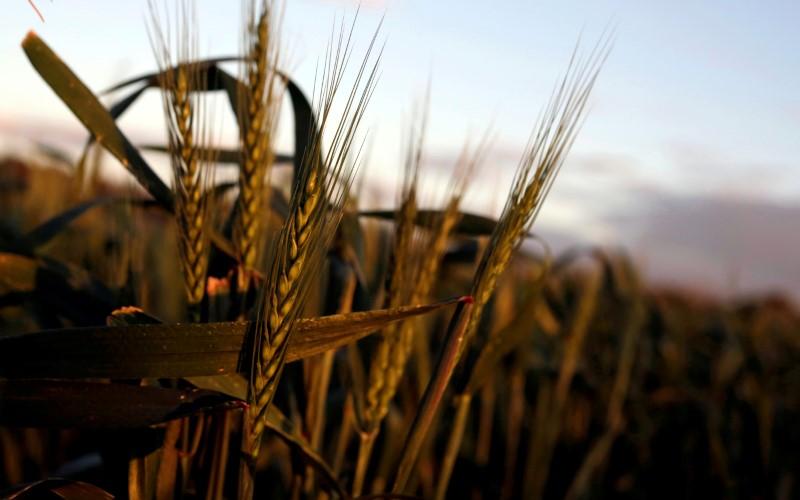 تجار: العراق يشتري 50 ألف طن قمحا في مناقصة من استراليا