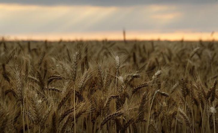 العراق يطرح مناقصة لشراء 50 ألف طن من القمح