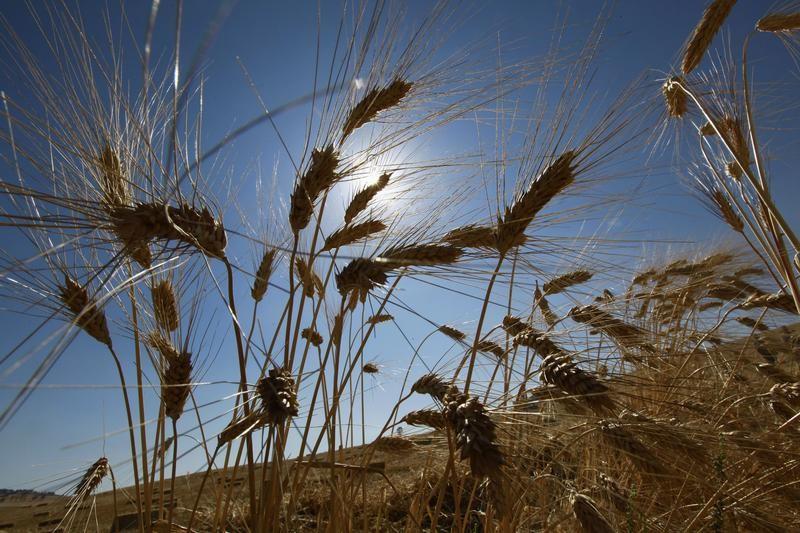 تجار: تونس تتلقى عروضا في مناقصة لشراء 100 ألف طن من القمح