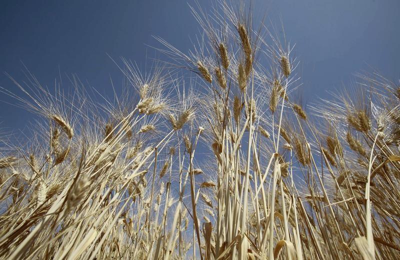 مسؤول: إنتاج الحبوب في الجزائر هذا العام يرتفع قليلا إلى 3.5 مليون طن