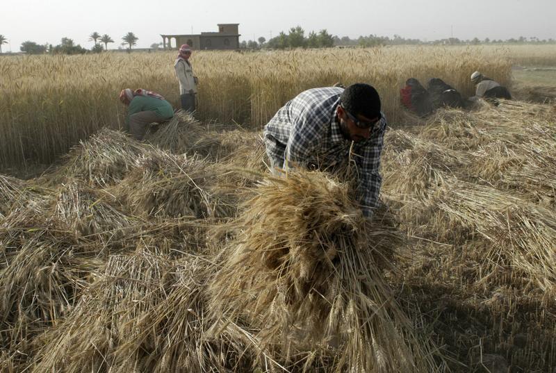 وزارة التجارة العراقية: شراء 2.38 مليون طن من القمح المحلي هذا الموسم