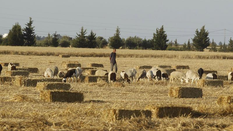 تجار: تونس تتلقى عروضا في مناقصة لشراء القمح اللين والصلد والشعير
